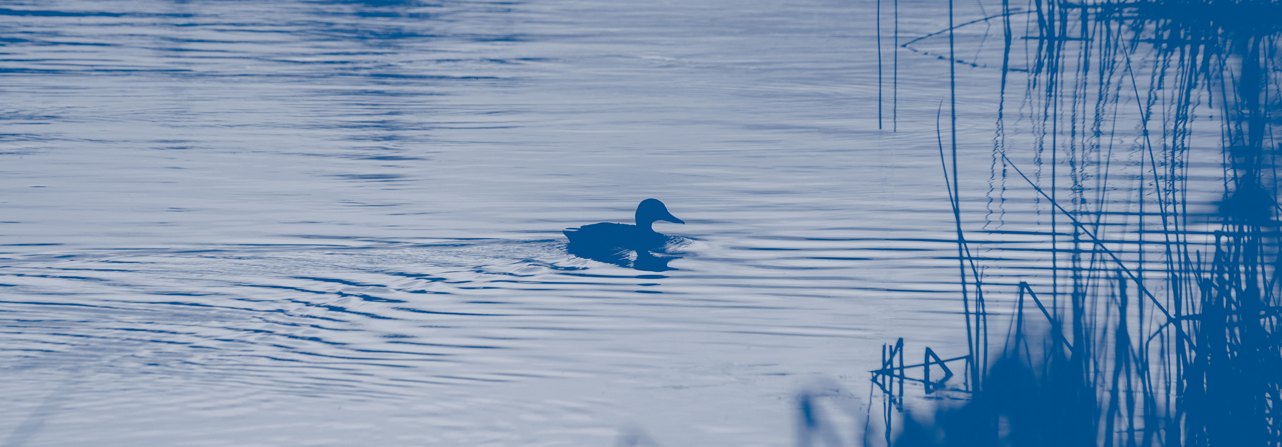 lone duck on still pond